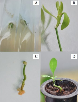 Figure 1.In vitro micrografting of citrus plants. A = In vitro germinated seeds, B = Micrografted plant of Valencia Orange, C = Overgrowth of callus tissue at the decapita- ted surface of rootstock, D = Micrografted plant adapted to ex vitro conditions.